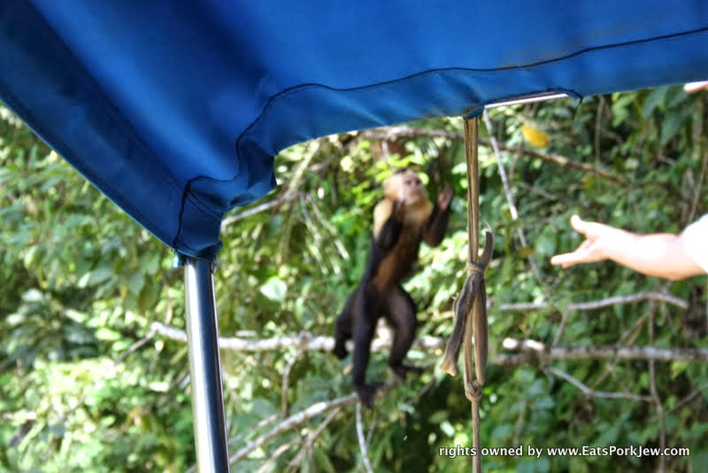 capuchin-monkey-panama-canal
