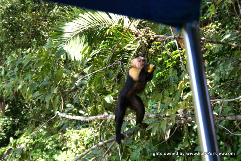 feeding-capuchin-white-headed-monkey-bananas