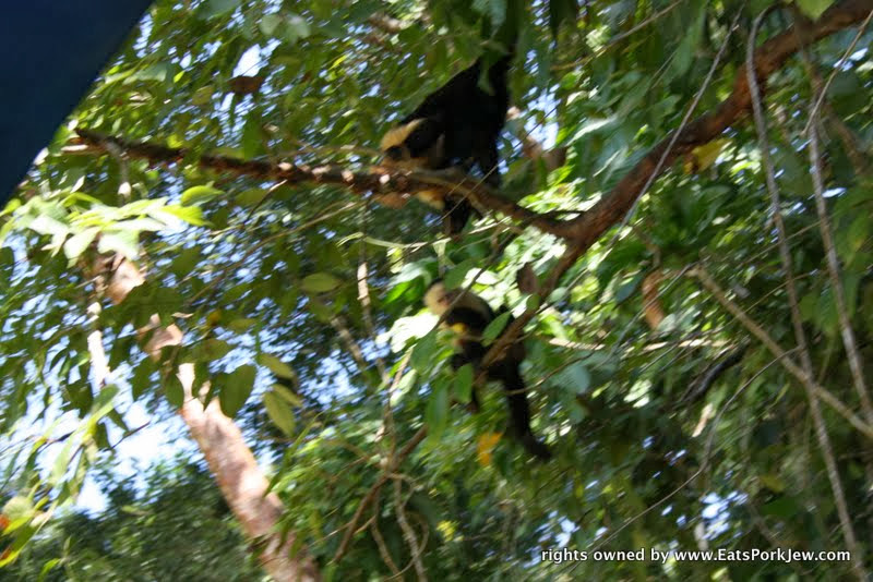 food-travel-blog-white-headed-capuchin-monkeys