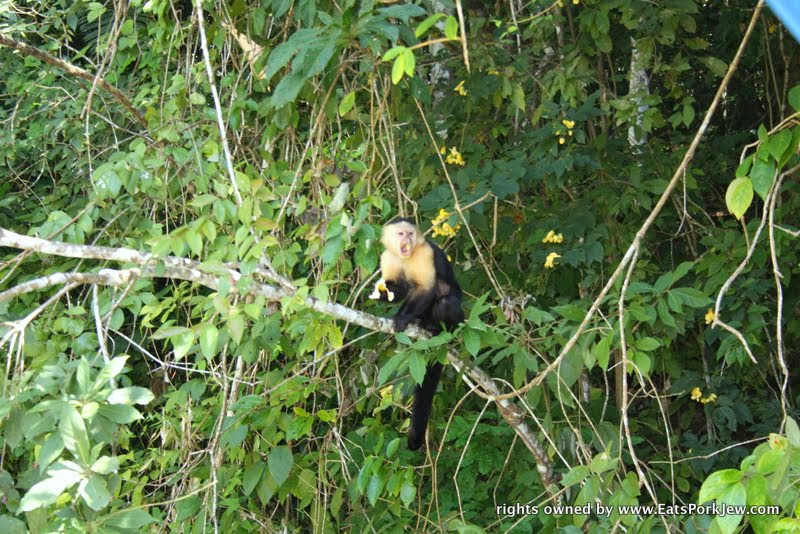 panama-canal-white-faced-monkey