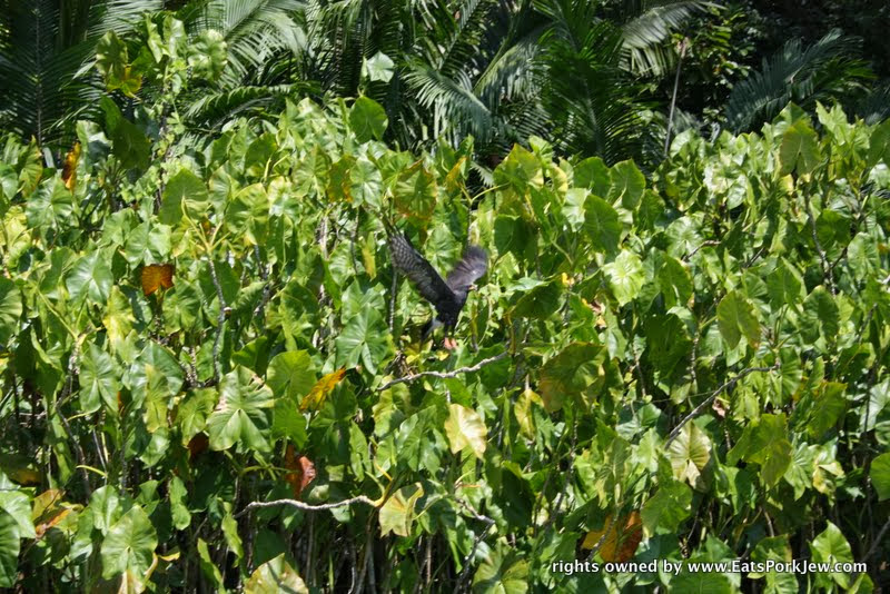 seeing-tropical-bird-in-flight-panama-canal