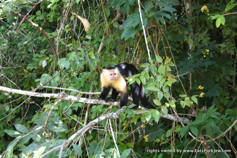 white-headed-capuchin-monkeys-on-the-panama-canal